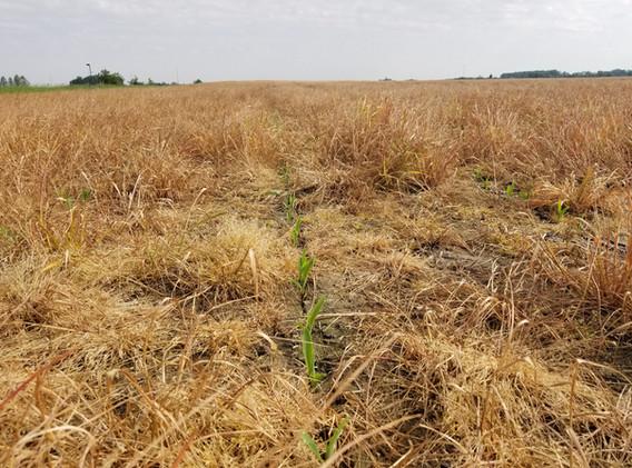 Emerging corn after annual ryegrass.jpg