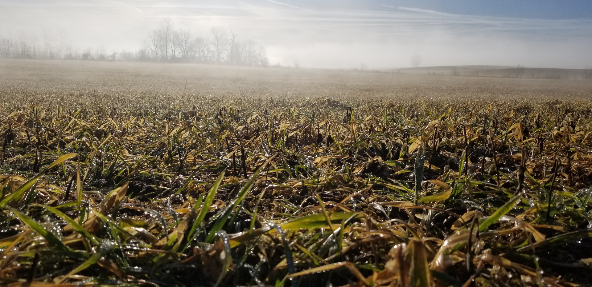 Foggy sunrise over cover crops.jpg