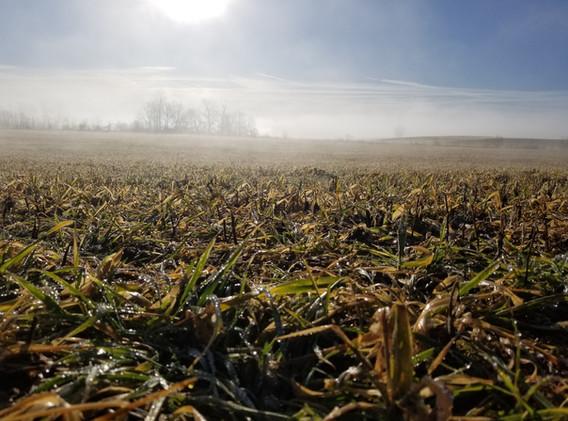 Foggy sunrise over cover crops.jpg