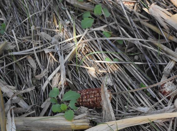 Radishes/turnips emerge from below heavy