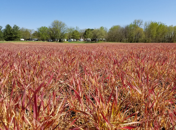 Terminated Annual Ryegrass.jpg