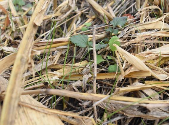 Heavy residue on cover crop field.jpg