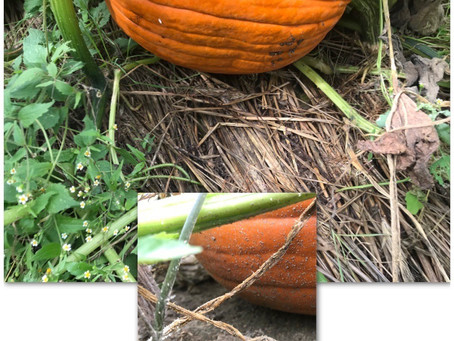 No-Till Pumpkins Are Clean Pumpkins