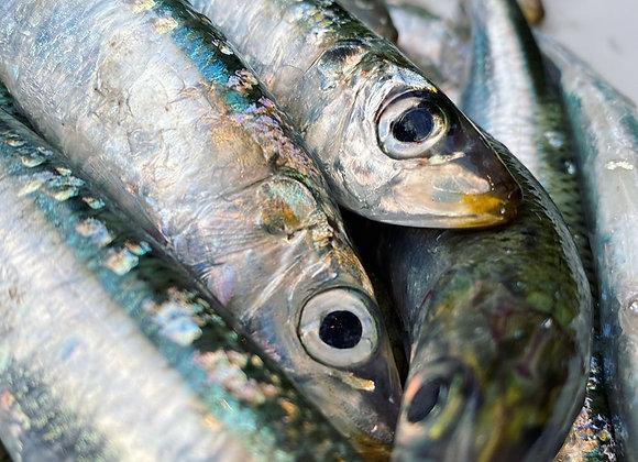 Port Phillip Bay Sardines Whole