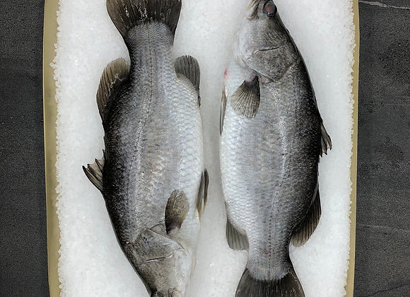 Australian Infinity Blue Baby Barramundi Whole Cleaned FRESH