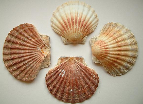 Scallop Shells Empty