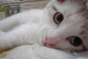 Adoção Adotar gatinho