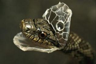 serpent, mue, printemps, faire peau neuve