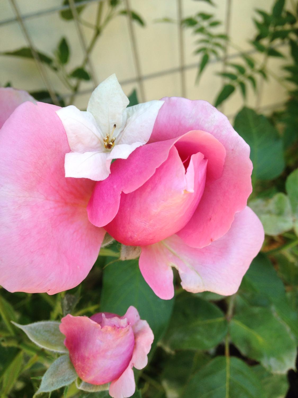 rose_edited