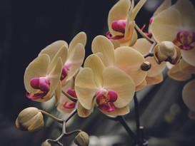 moth-orchid-171365.jpg