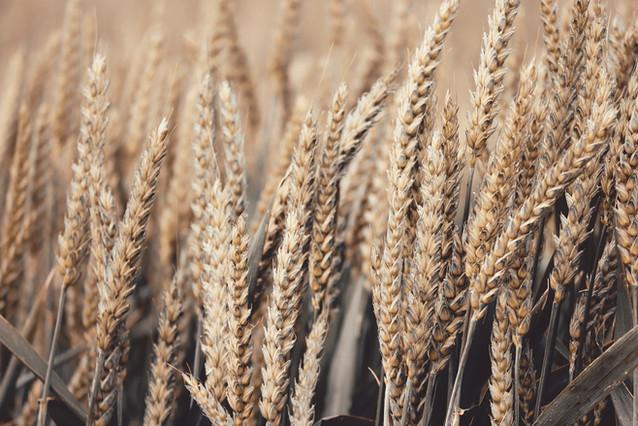 wheat-4278543_1920.jpg