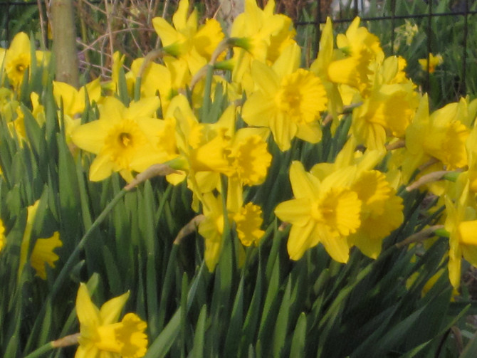 iDig2Learn supports The Daffodil Project