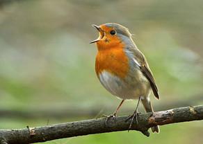 Chants des oiseaux pour égayer le confinement