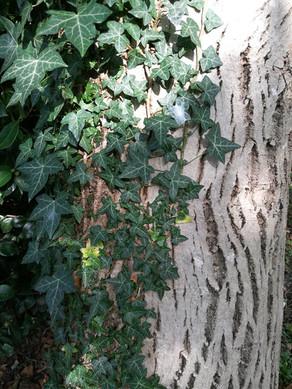 Le lierre sur les arbres... Faut-il le retirer ou le laisser ?