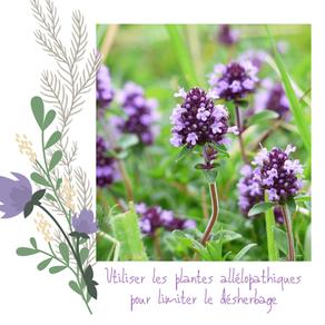 Privilégier la mise en place de plantes allélopathiques pour limiter les travaux de désherbage