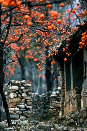 Coup de cœur de la mi-novembre : le Diospyros (Plaqueminier, arbre à kakis)