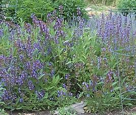 Tammy's Lavender.jpg