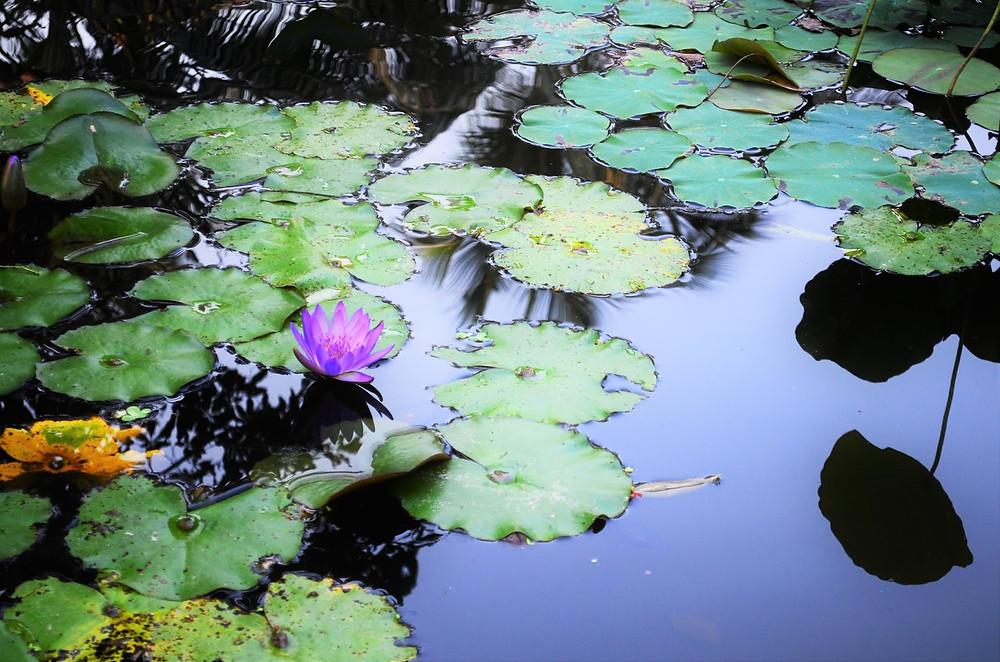 Lotus Pond at Villa Hoa Su, Our Temporary Retreat Center