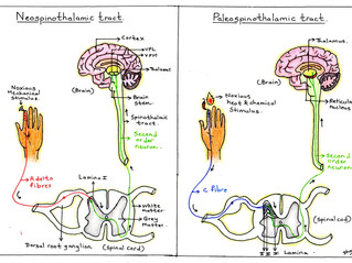 Pricks, pangs and paroxysms: the pathways of pain perception.