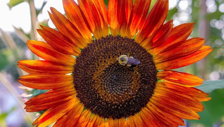 Celebration Garden Sunflower.jpg