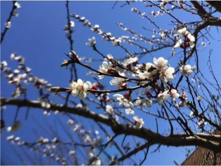 Aprikosenblühten