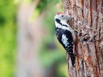 woodpecker-1201145_1920.jpg