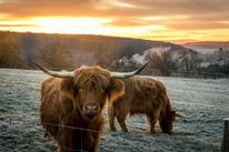 highland-cows-5778566_1920.jpg