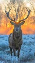 cerf royal.jpg