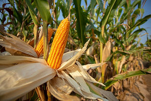 corn-animal-feed-yellow-corns-as-backgro