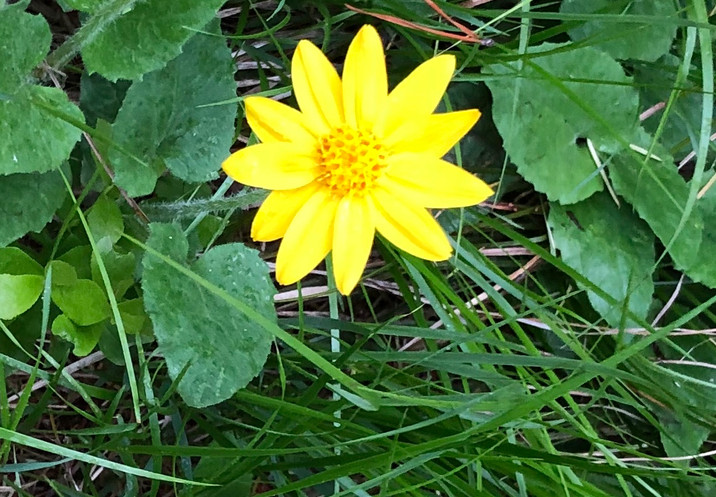 Montnana Sunflower