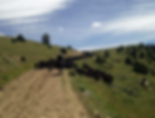 Trailing Cattle in the Upper Ruby Valley