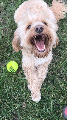 charlie the cockapoo hapily playng with his ball during a dog walk