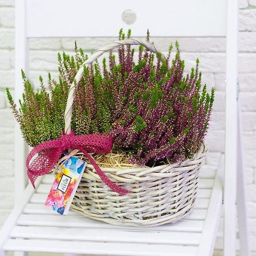 Горшечные цветы в малой корзине (Вереск)
