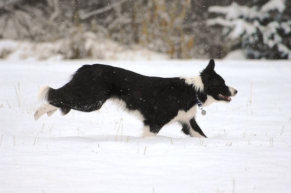 Border Collie Running Through Snow