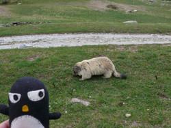 Flickr - Pingouino…! Avec son ami marmotte