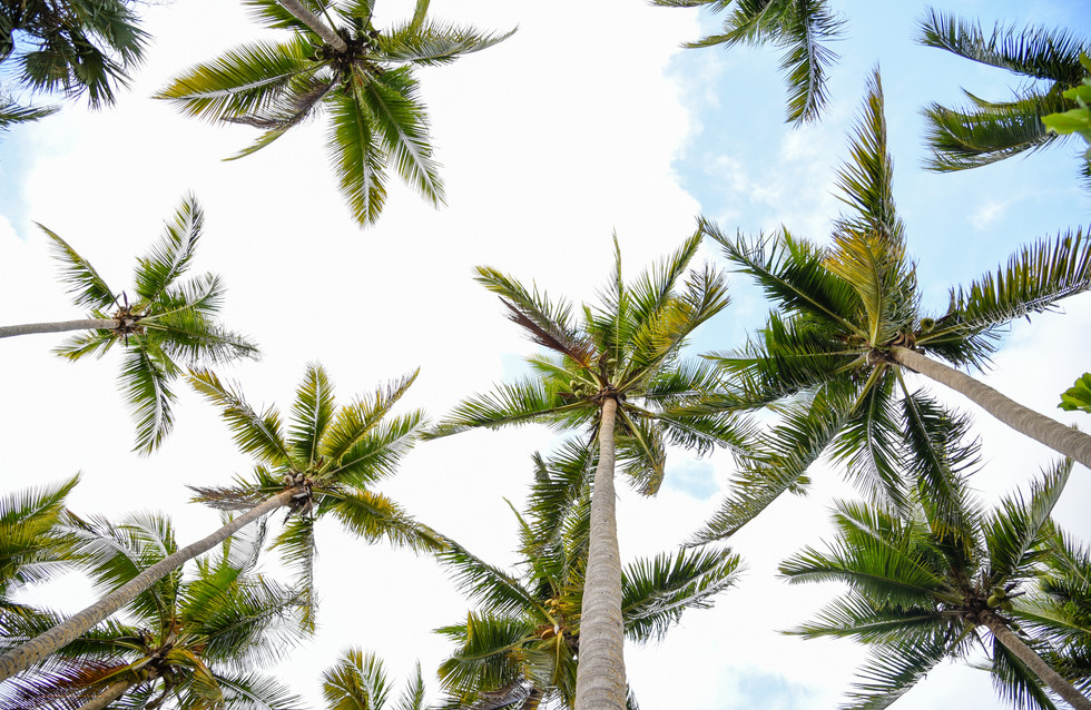 Palms on the Dominican Republic