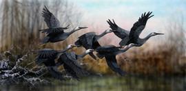 Australian White Faced Herons
