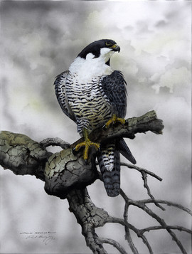 Australian Peregrine Falcon