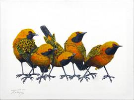 Australian Orange Chats