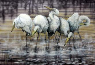 Australian Great Egrets