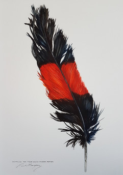 Tail Feather of Red Tailed Black Cockatoo