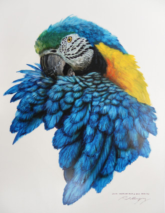 South American Blue & Yellow Macaw