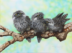 Australian Tawny Frogmouths