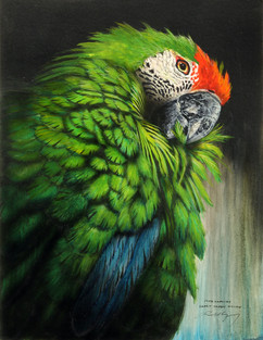 South American Great Green Macaw