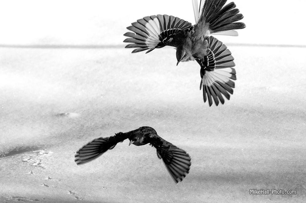 Mike Hall Bird 03-05-15 02 B&W small.jpg