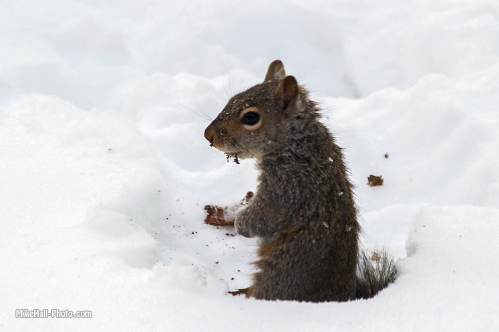 Mike Hall Squirrel 02-20-15 01 small.jpg