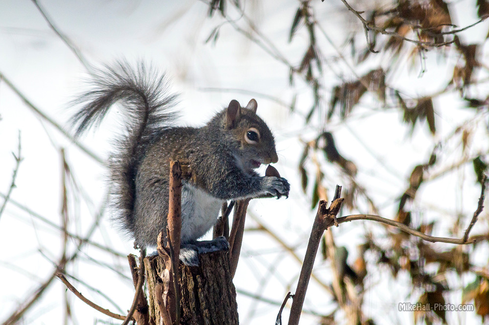 Mike Hall Squirrel 02-19-15 01 small.jpg