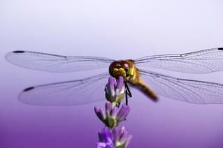 Significado místico de la libélula