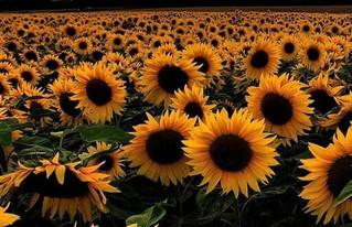 La bella flor que sigue al Sol