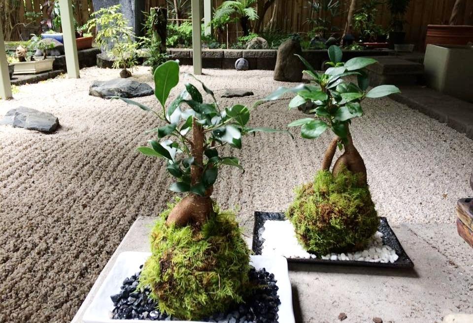 Fig tree Kokedama $39 each_edited_edited